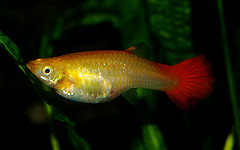 How Long Are Guppies Pregnant?